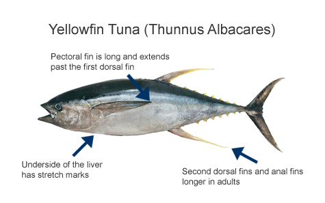 Yellowfin Tuna | Pages
